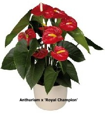 anthurium-royal-champion