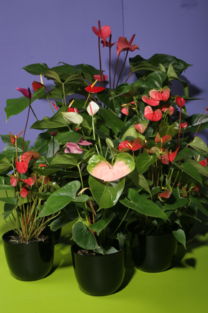 anthurium-spp