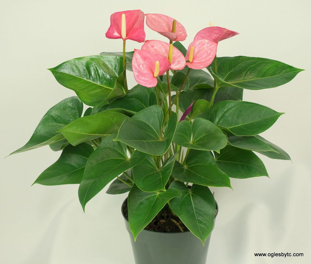 anthurium-tickled-pink