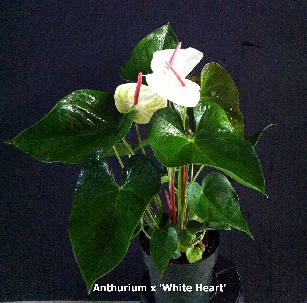 anthurium-white-hearts