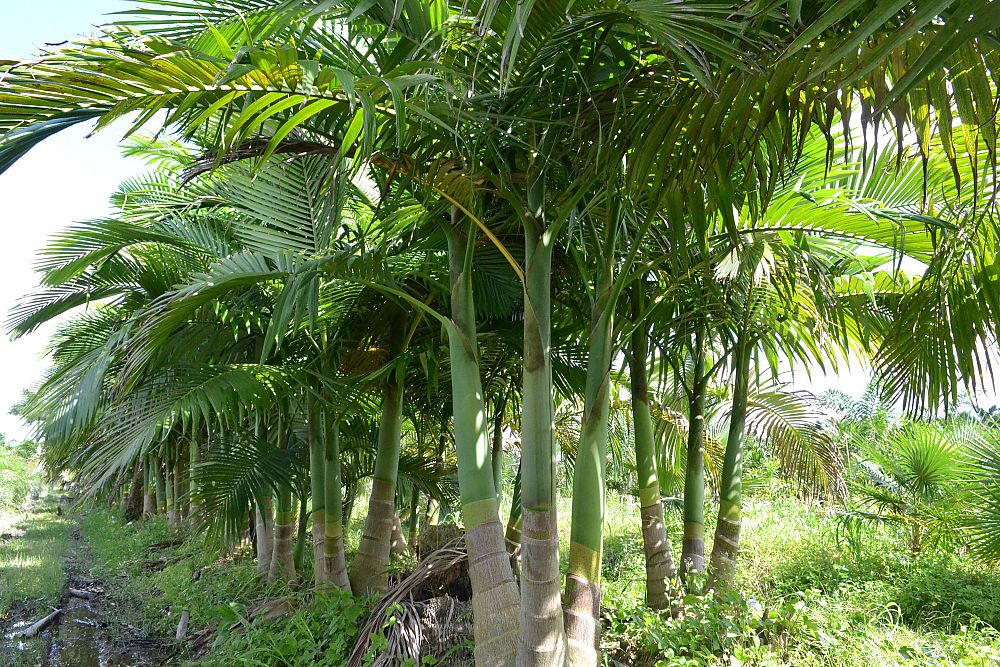 archontophoenix-cunninghamiana-piccabeen-palm