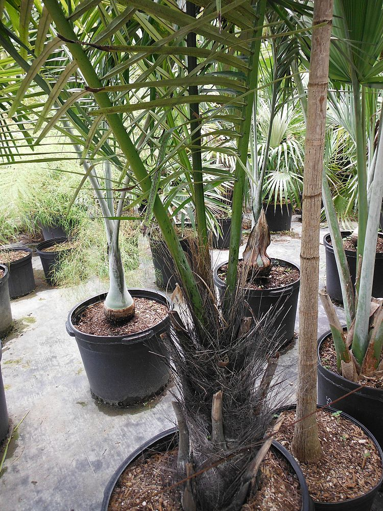 arenga-pinnata-sugar-palm