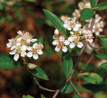 aronia-arbutifolia-brilliantissima-red-chokeberry