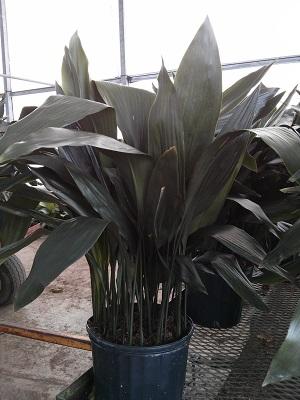 Kimsue Foliage Plantant Com
