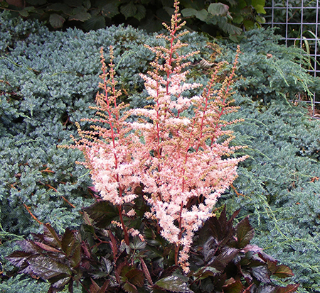 astilbe-chinensis-spotlight-false-goat-s-beard-false-spirea-chinese-astilbe