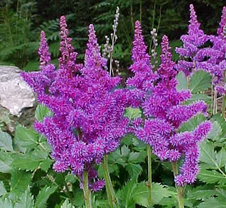 astilbe-chinensis-visions-false-goat-s-beard-false-spirea-chinese-astilbe