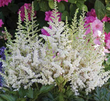 astilbe-chinensis-visions-in-white-chinese-false-spirea