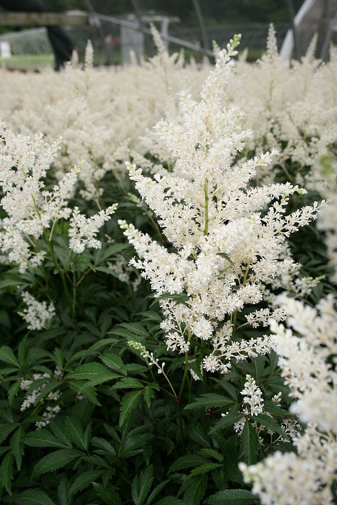 astilbe-x-arendsii-deutschland-false-goat-s-beard-false-spirea
