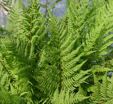 athyrium-filix-femina-angustum-lady-in-red-lady-fern
