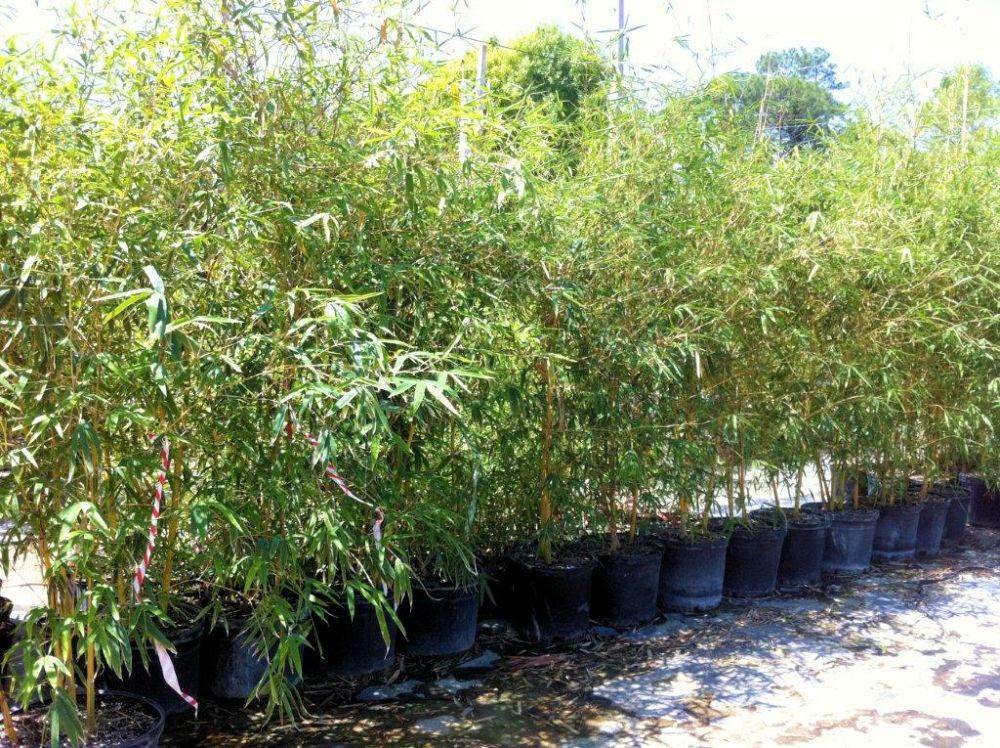 Bambusa Eutuldoides Viridivittata Asian Lemon Bamboo
