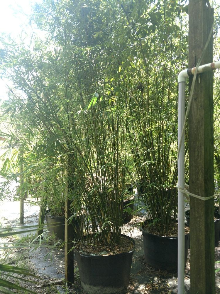 bambusa-multiplex-hedge-bamboo