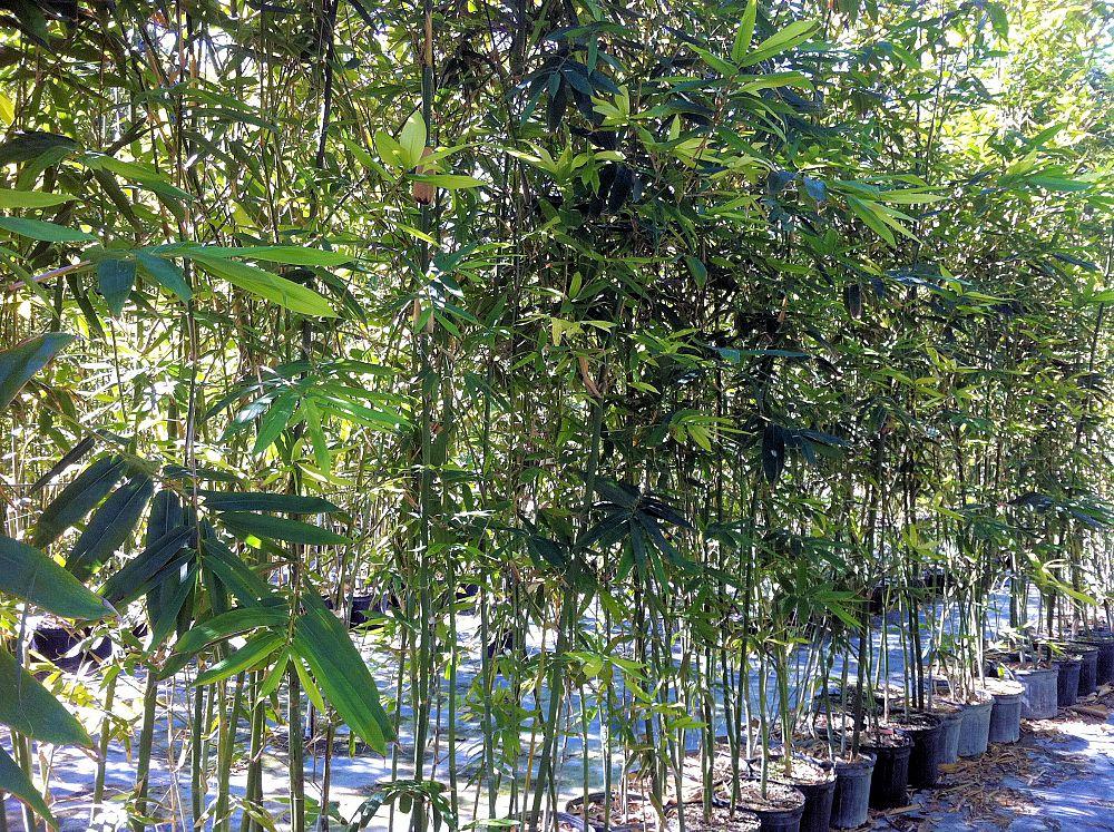 Tropical Bamboo Nursery & Gardens | plantANT com