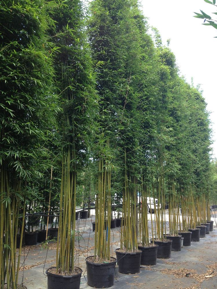Bamboo Hedge Privacy