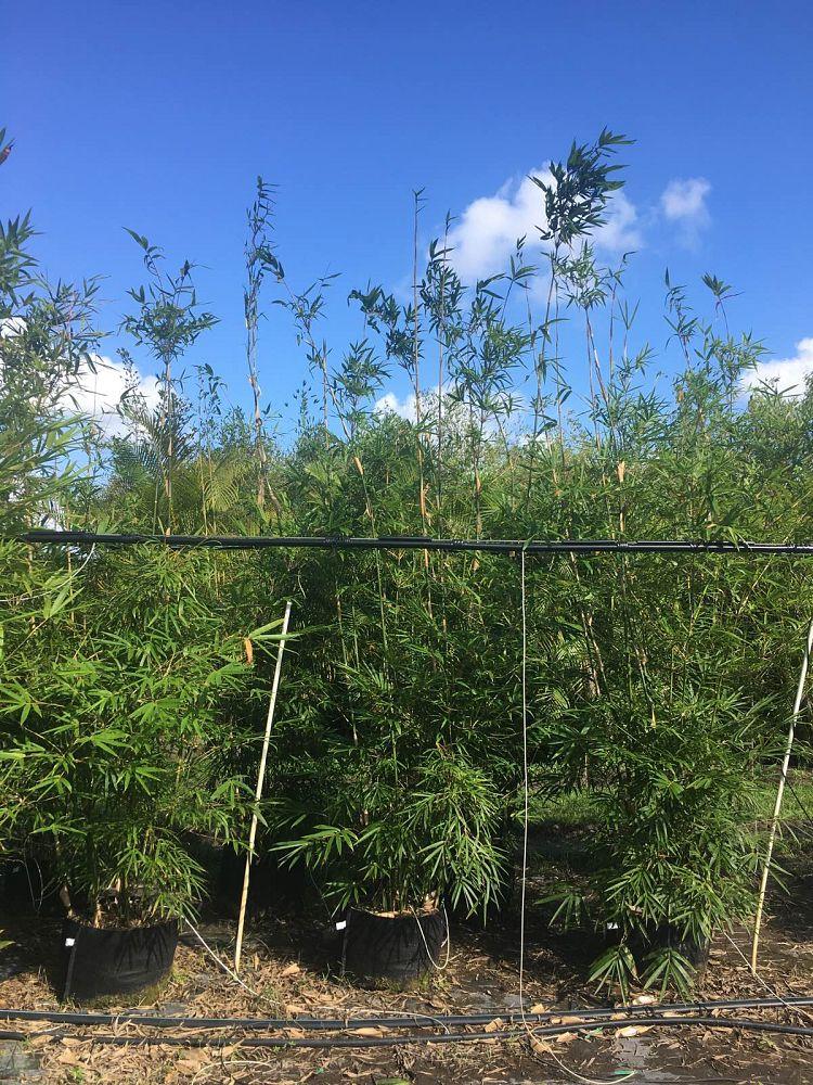 Nj Bamboo Landscaping: Bambusa+textilis+gracilis+Bamboo