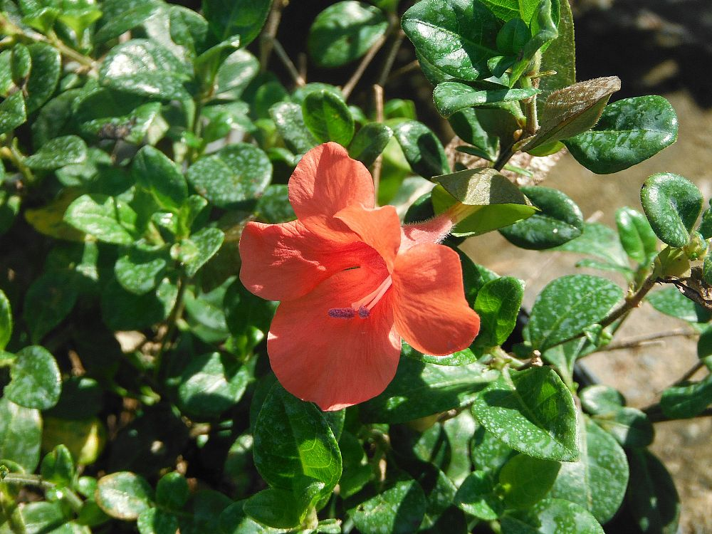 barleria-repens-coral-creeper