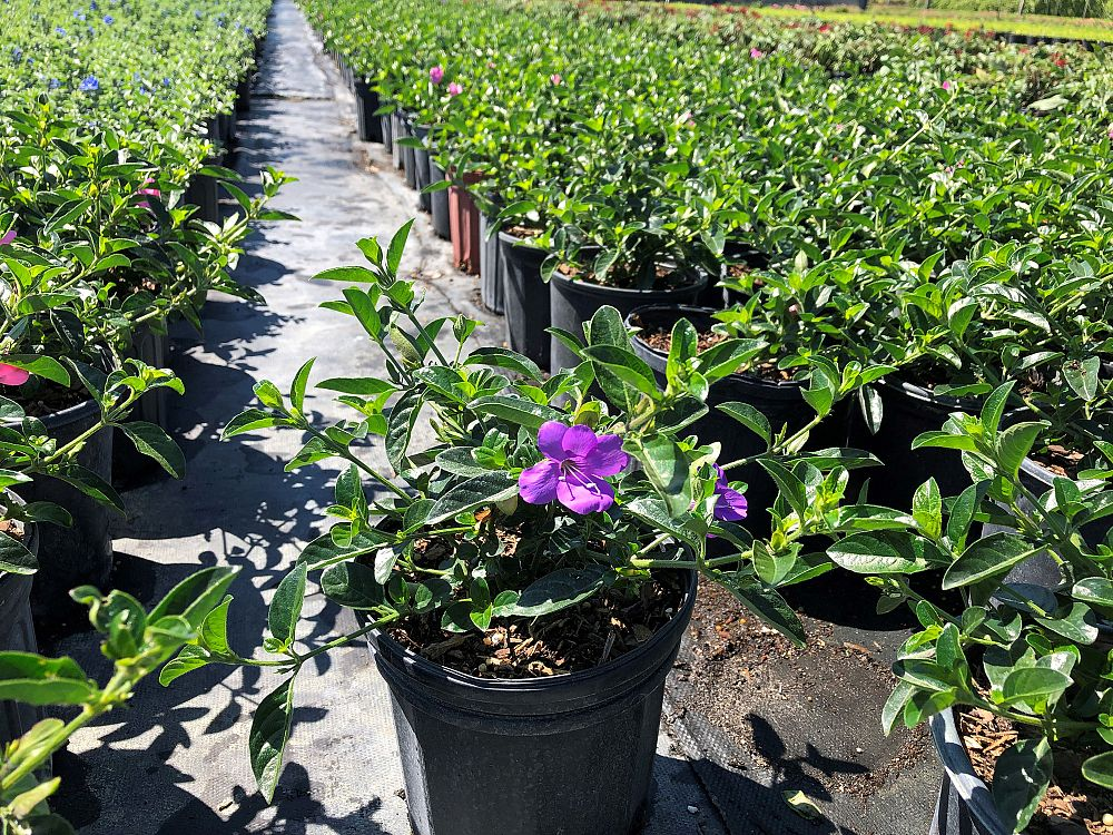 barleria-repens-purple-coral-creeper