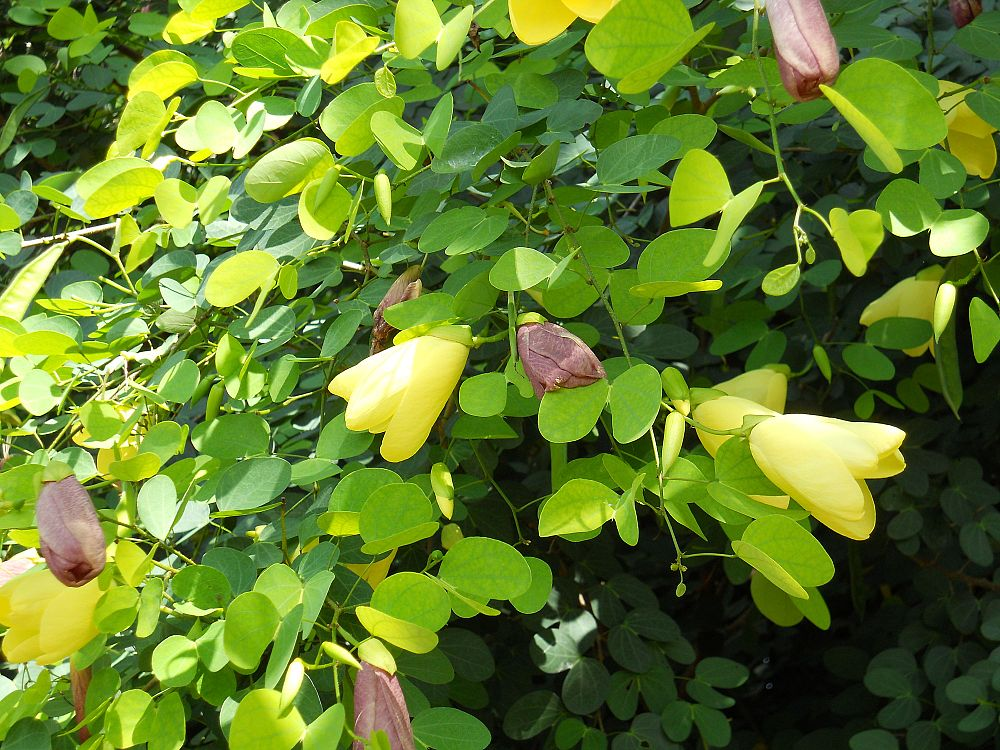 bauhinia-tomentosa-yellow-orchid-tree-st-thomas-tree