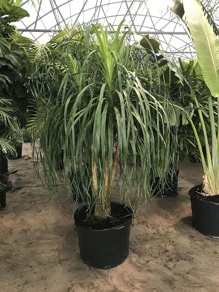 Acosta farms container farm for Ponytail palm cats