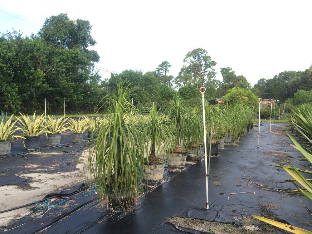 beaucarnea-recurvata-ponytail-palm-nolina-recurvata-elephant-s-foot-palm