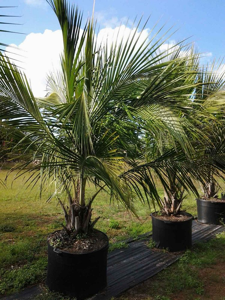 beccariophoenix-alfredii-high-plateau-coconut-palm-hardy-coconut-palm