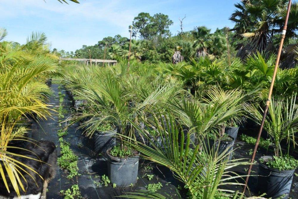 Beccariophoenix Alfredii High Plateau Coconut Palm Hardy