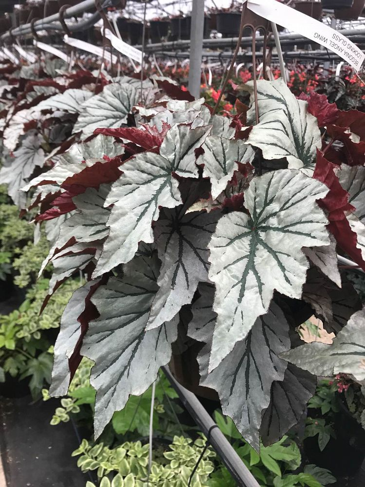 begonia-looking-glass-cane-begonia-angel-wing-begonia
