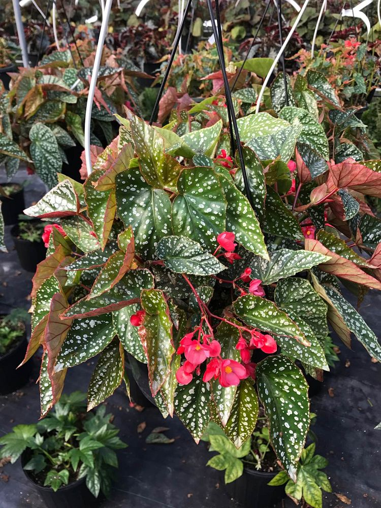 begonia-snow-capped-cane-begonia