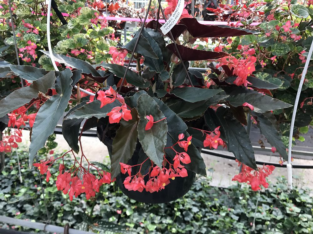 begonia-torch-red-cane-begonia-angel-wing-begonia