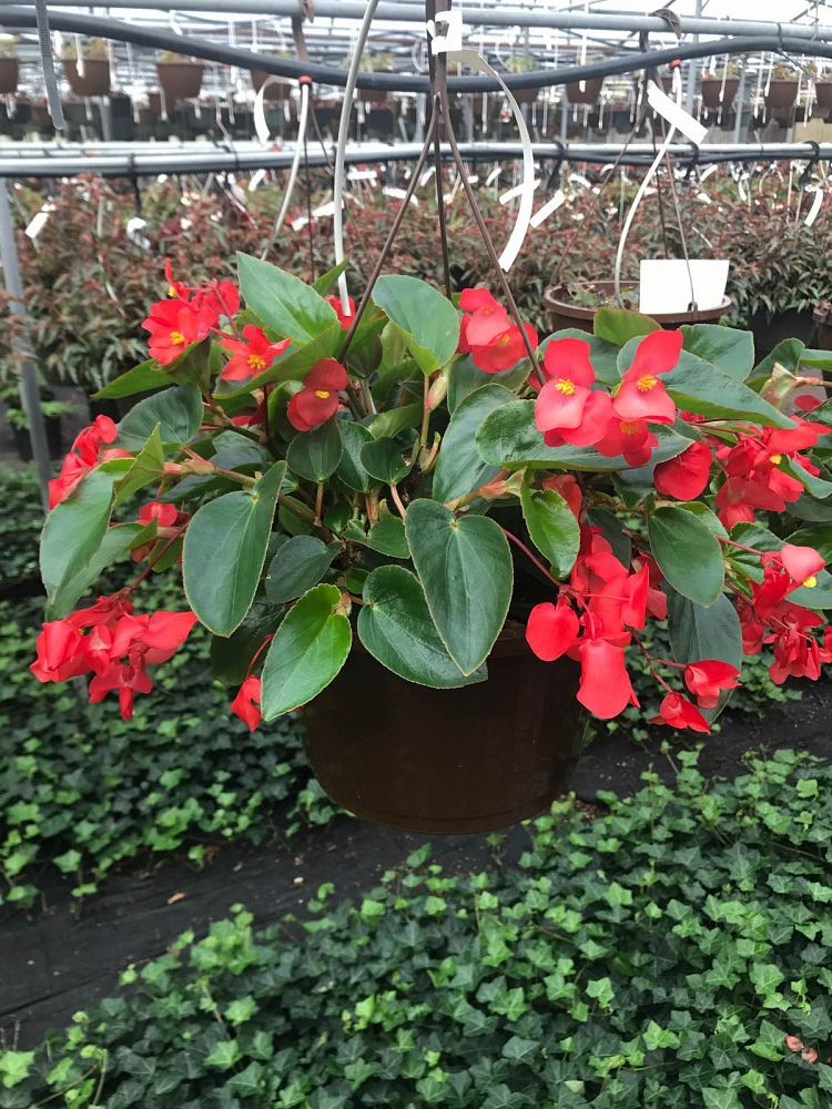 begonia-x-semperflorens-cultorum-charm-red-fibrous-rooted-begonia-wax-begonia