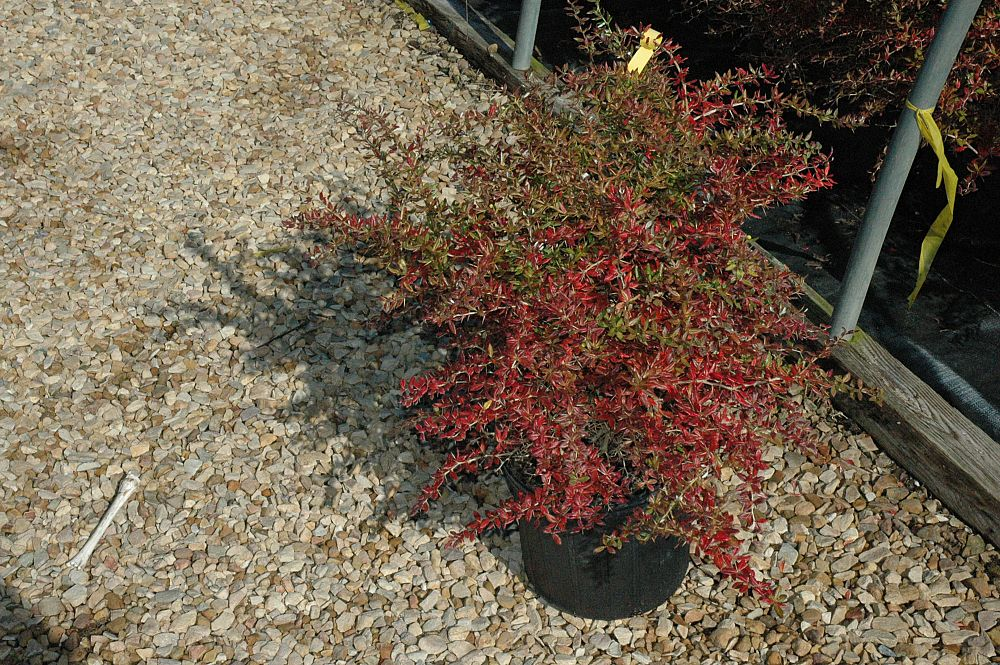 berberis-gladwynensis-william-penn-barberry