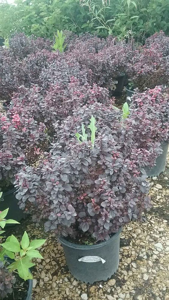 berberis-thunbergii-concorde-japanese-barberry