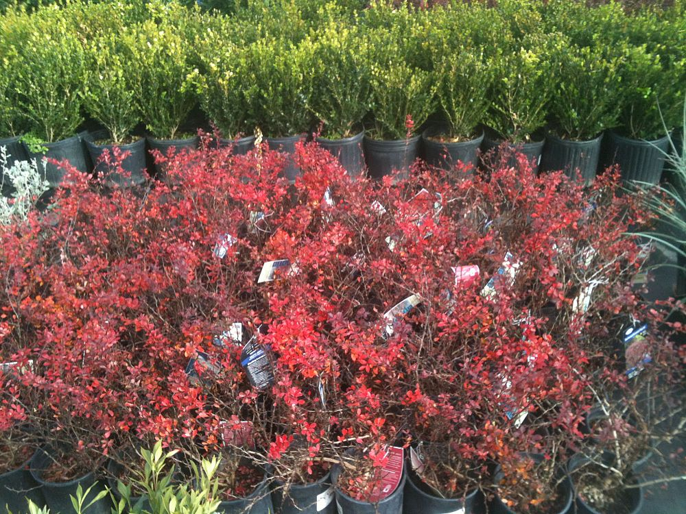 berberis-thunbergii-crimson-pygmy-japanese-barberry
