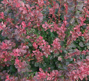 berberis-thunbergii-gentry-japanese-barberry