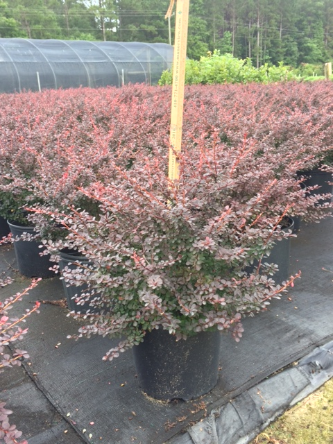 berberis-thunbergii-royal-burgundy-japanese-barberry