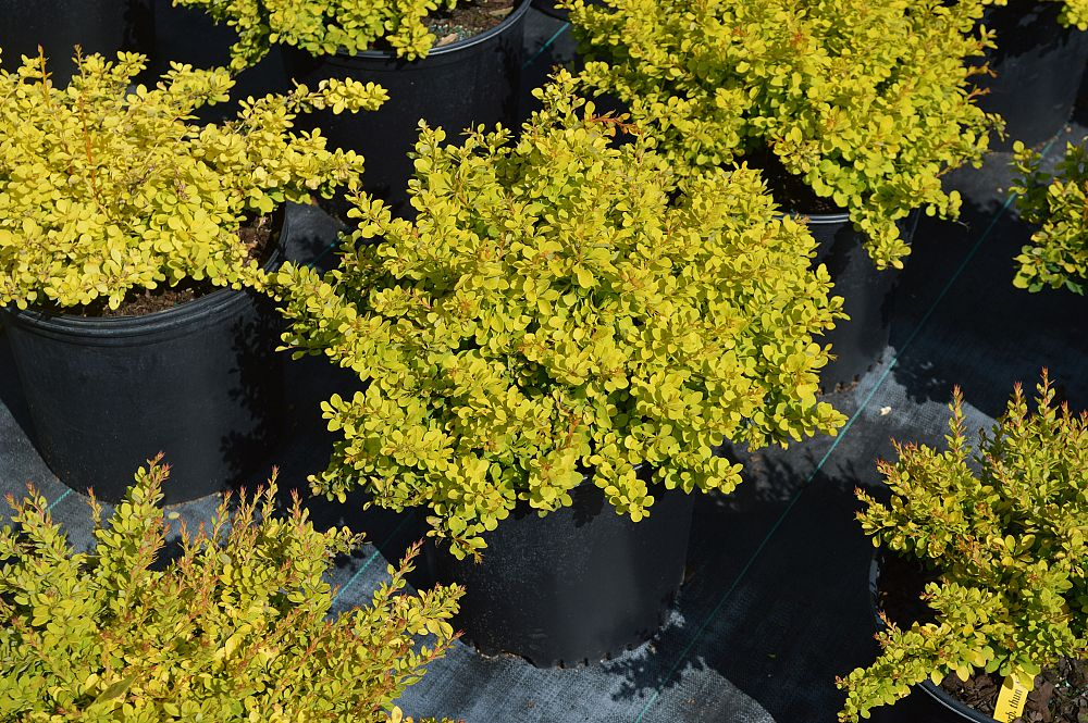 berberis-thunbergii-sunjoy-gold-beret-japanese-barberry