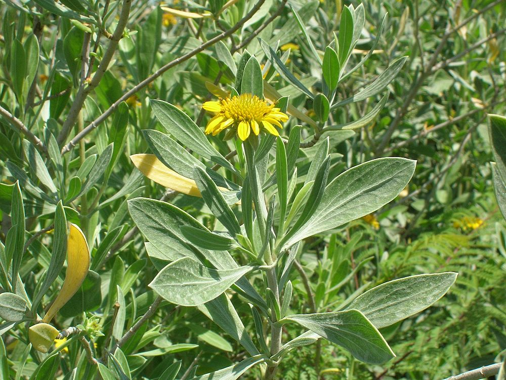 borrichia-arborescens-green-sea-oxeye-daisy