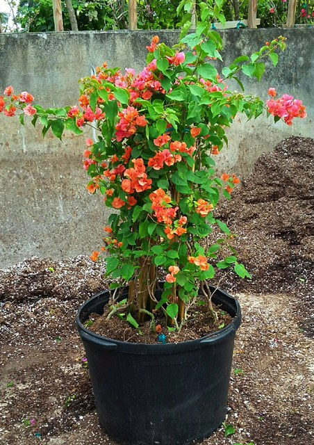 bougainvillea-afterglow-salmon