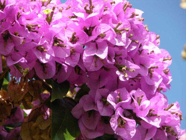 bougainvillea-arborea-thornless