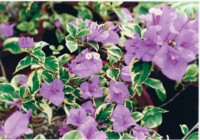 bougainvillea-blueberry-ice-variegated-purple