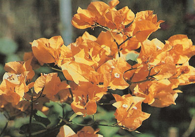 bougainvillea-california-gold-yellow