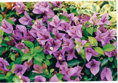 bougainvillea-carpet-purple