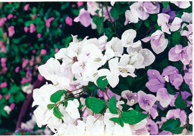 bougainvillea-coconut-ice-lilac