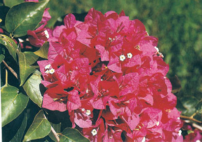 bougainvillea-crimson-red