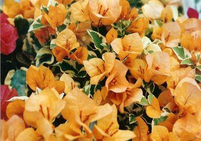 bougainvillea-delta-dawn-variegated-yellow