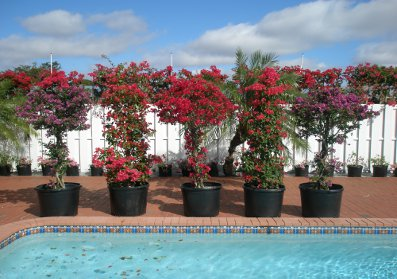 bougainvillea-don-fernando-red