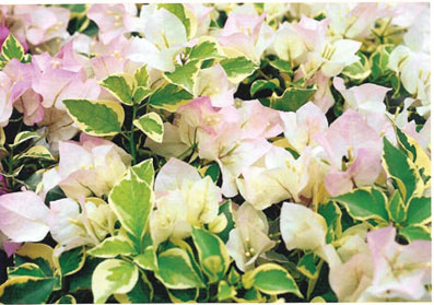 bougainvillea-double-delight-variegated-pinky-white