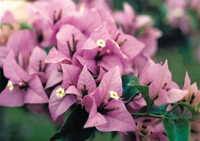 bougainvillea-easter-parade-lilac