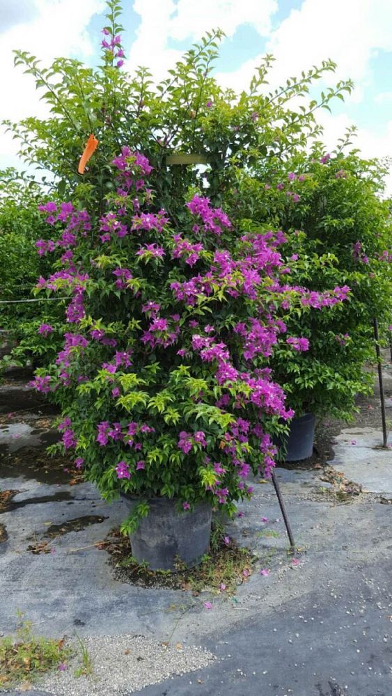 bougainvillea-new-river