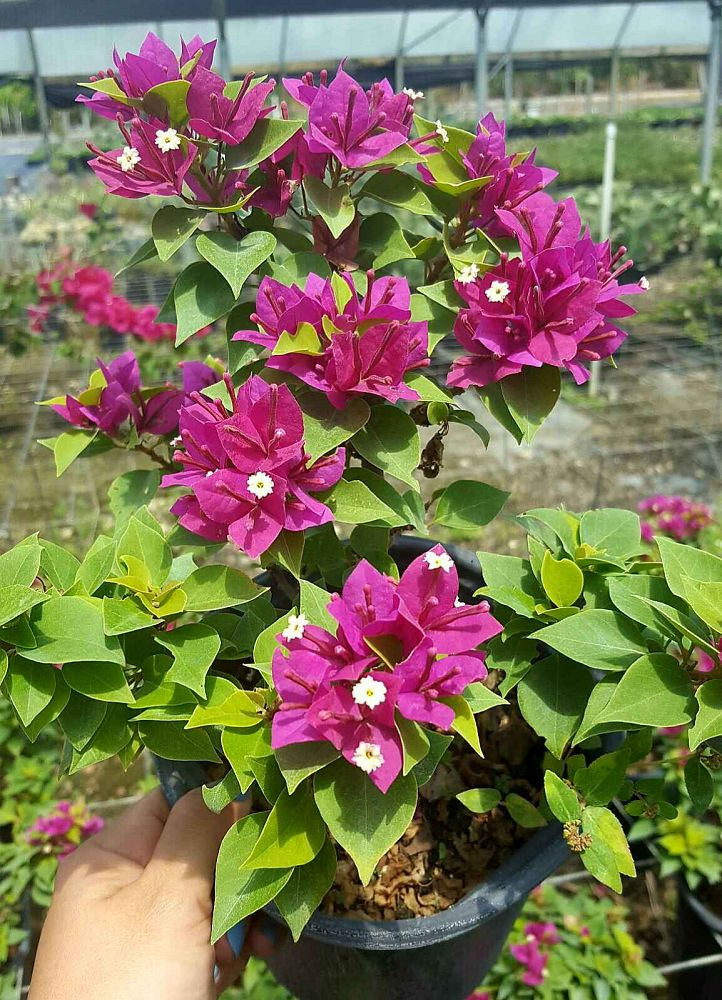 bougainvillea-purple
