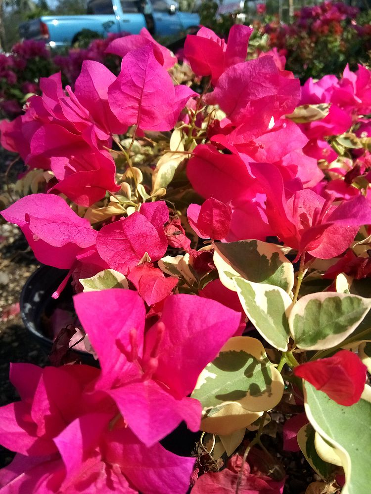 bougainvillea-raspberry-ice-variegated-red